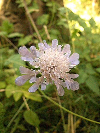 Field scabious - Knautia arvensis.  Image: Brian Pitkin