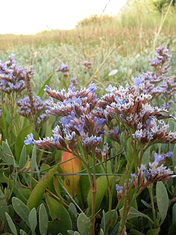 Common Sea-lavender