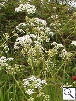 Cow Parsley - Anthriscus sylvestris. Image: © Brian Pitkin