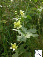 White Bryony - Bryonia dioica. Image: © Brian Pitkin