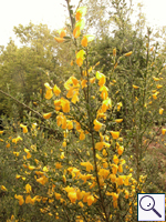 Broom - Cytisus scoparius. Image: © Brian Pitkin