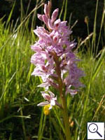 Common spotted orchid - Dactylorhiza_fuchsii. Image: © Brian Pitkin