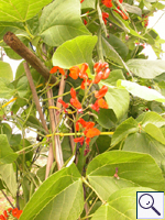 Runner Bean - Phaseolus coccineus. Image: © Brian Pitkin
