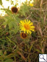 Common Fleabane - Pulicaria dysenterica. Image: © Brian Pitkin