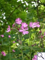 Red Campion - Silene dioica. Image: © Brian Pitkin