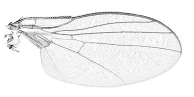Wing of Liriomyza bryoniae