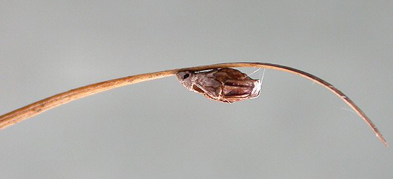Case of Coleophora adjunctella on Juncus Image: © Rob Edmunds (British leafminers)
