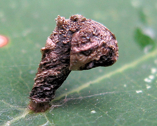 Case of Coleophora currucipennella on Quercus rubra