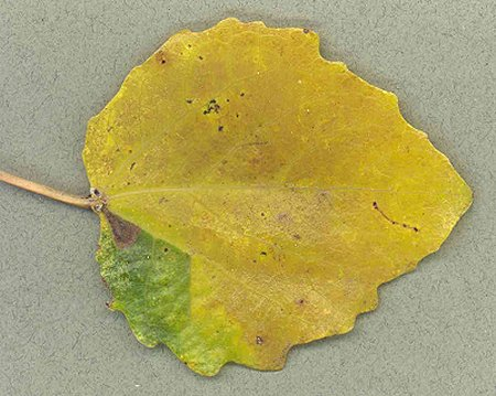 Mine of Ectoedemia turbidella on Populus canescens Image: © David Manning (British leafminers)