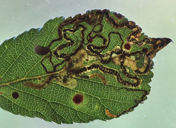 Mine of Stigmella aurella on Rubus sp.