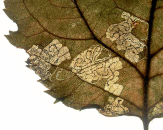 Mine of Stigmella desperatella on Malus sylvestris Image: © Willem Ellis (Bladmineerders en plantengallen van Europa)
