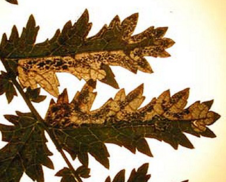 Mines of Stigmella filipendulae on Filipendula vulgaris Image: © Ian Thirlwell (British leafminers)