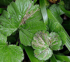 Mines of Stigmella pretiosa on Geum Image: © Duncan Williams (British leafminers)