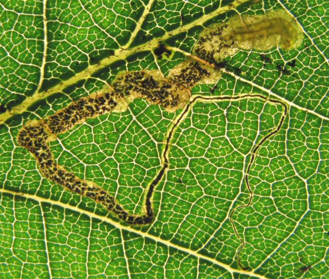 Mine of Stigmella svenssoni on Quercus